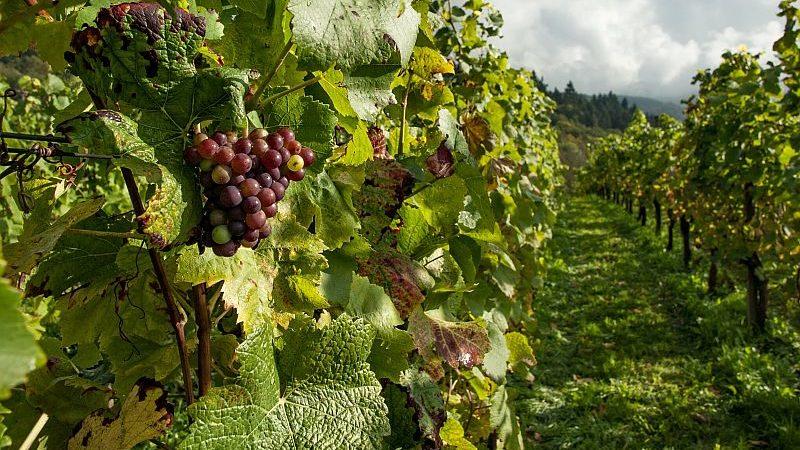Vigneto con grappolo d'uva in evidenza